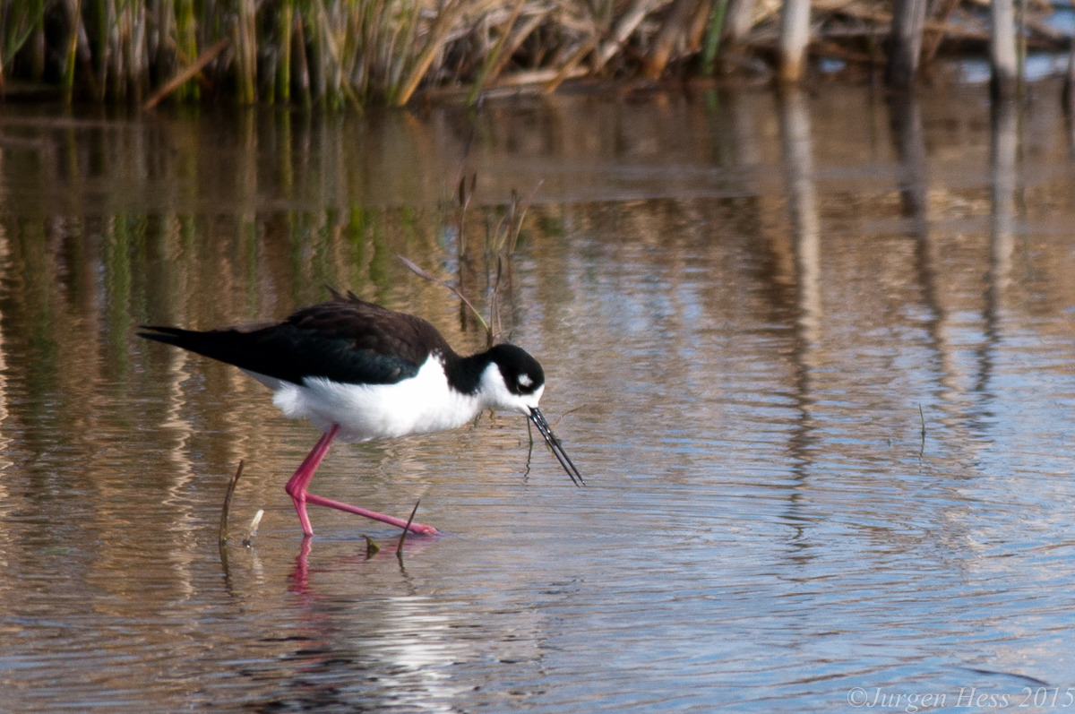 Black necked Stilt -2-11