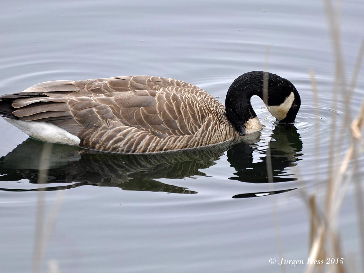 Canada Goose 0006