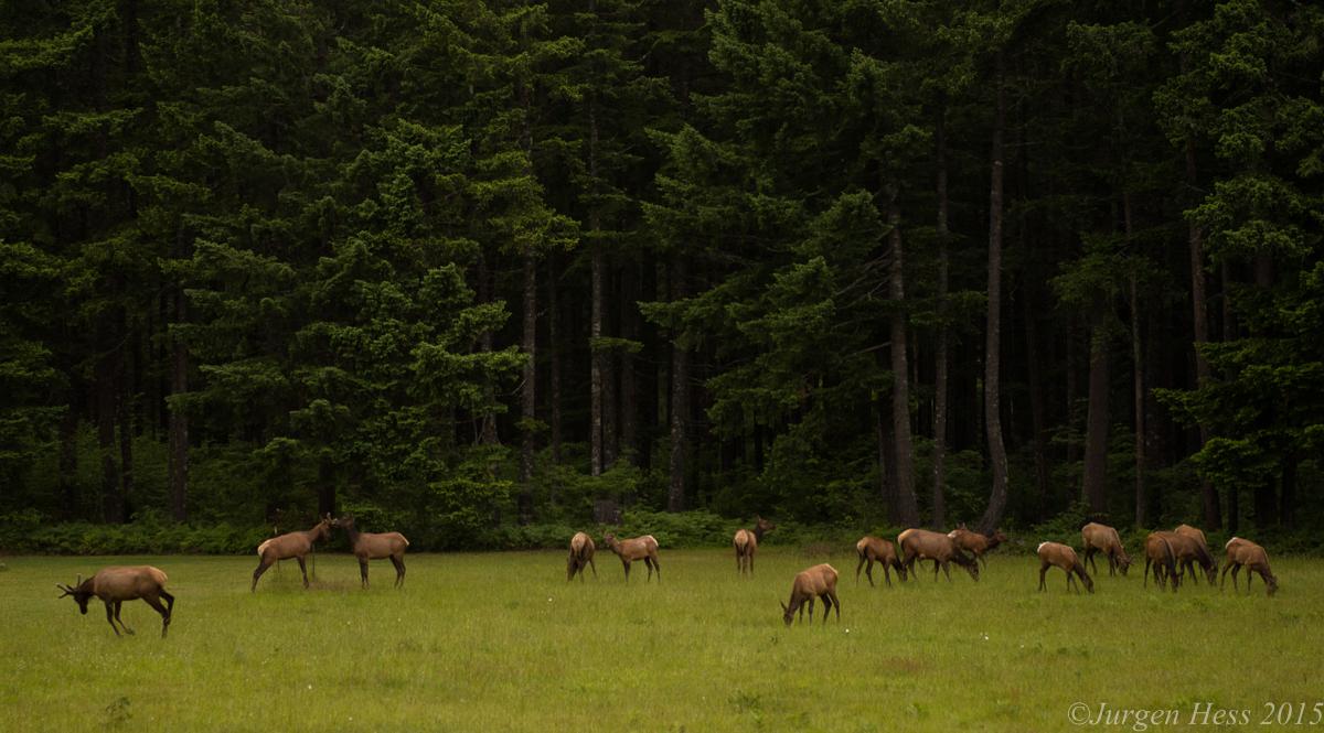 Elk herd  -0665