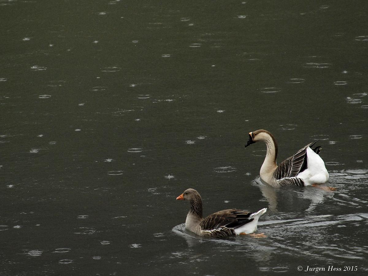 Geese and rain 0084