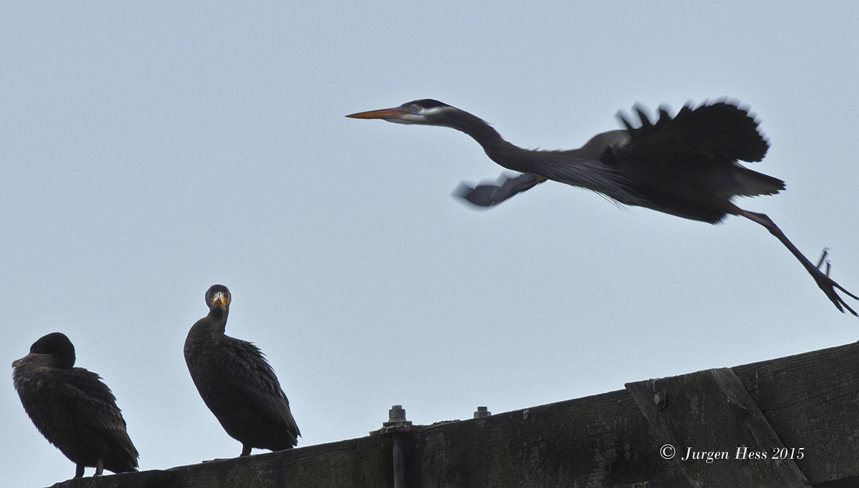 Heron & Cormorants