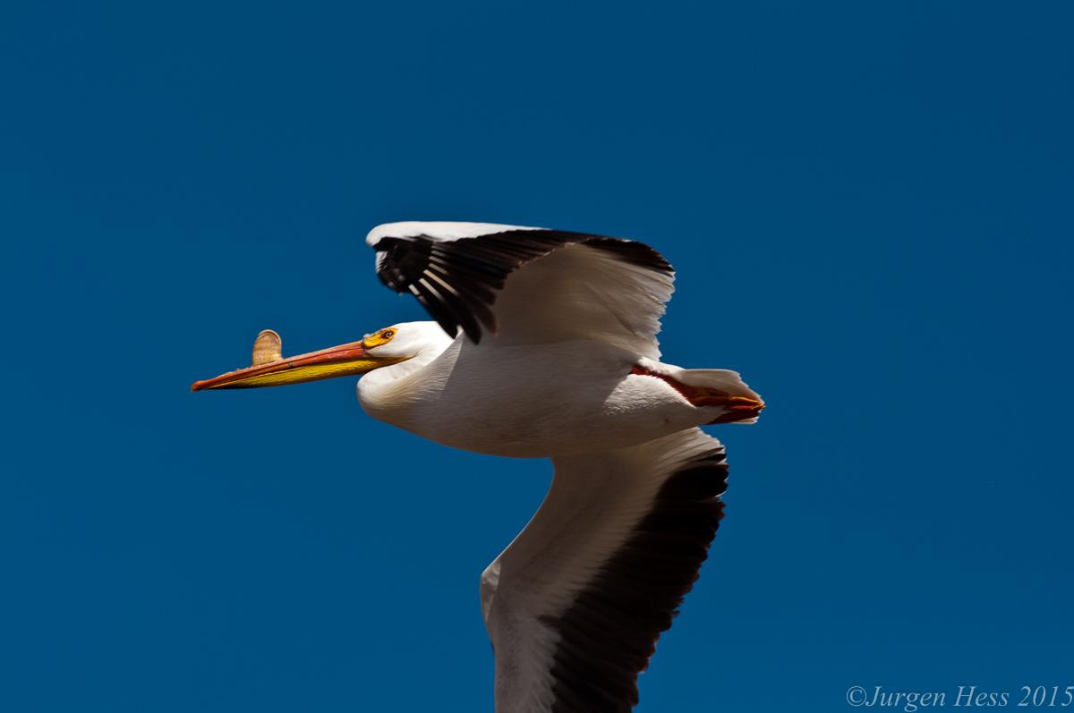 Pelican -2-20