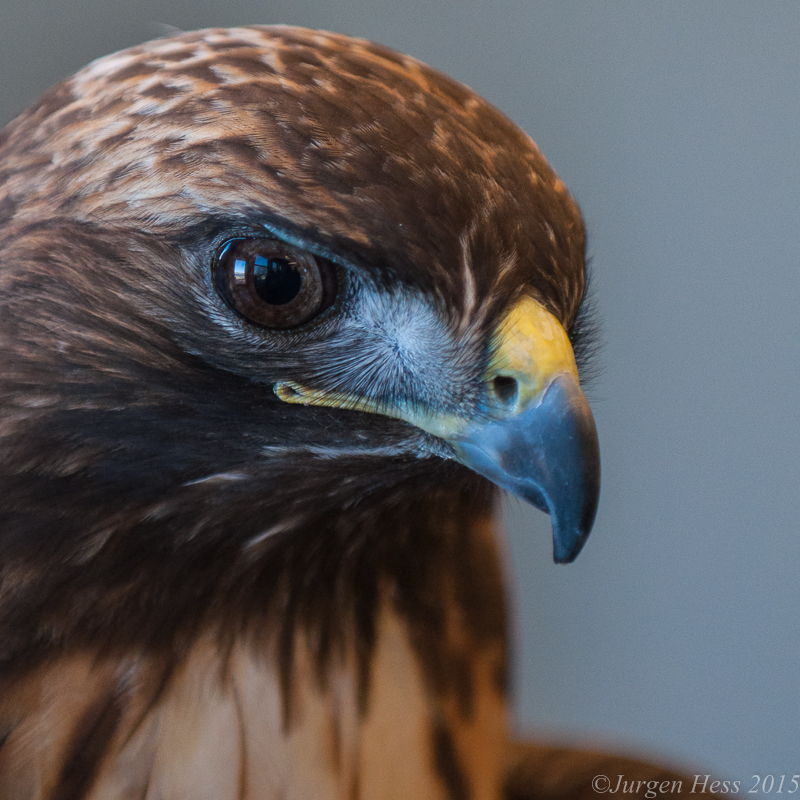 Raptor Rehabilitation -2-16