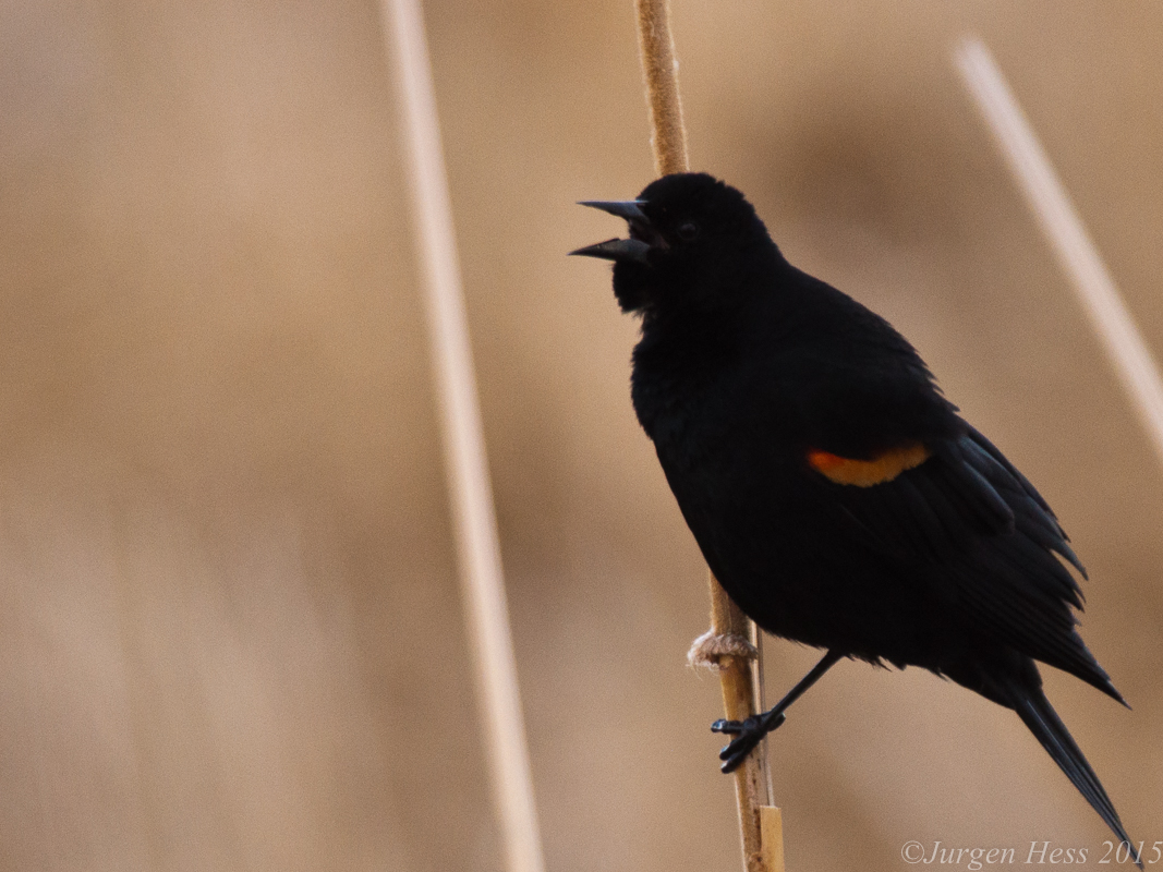 Redwind blackbird -2-40
