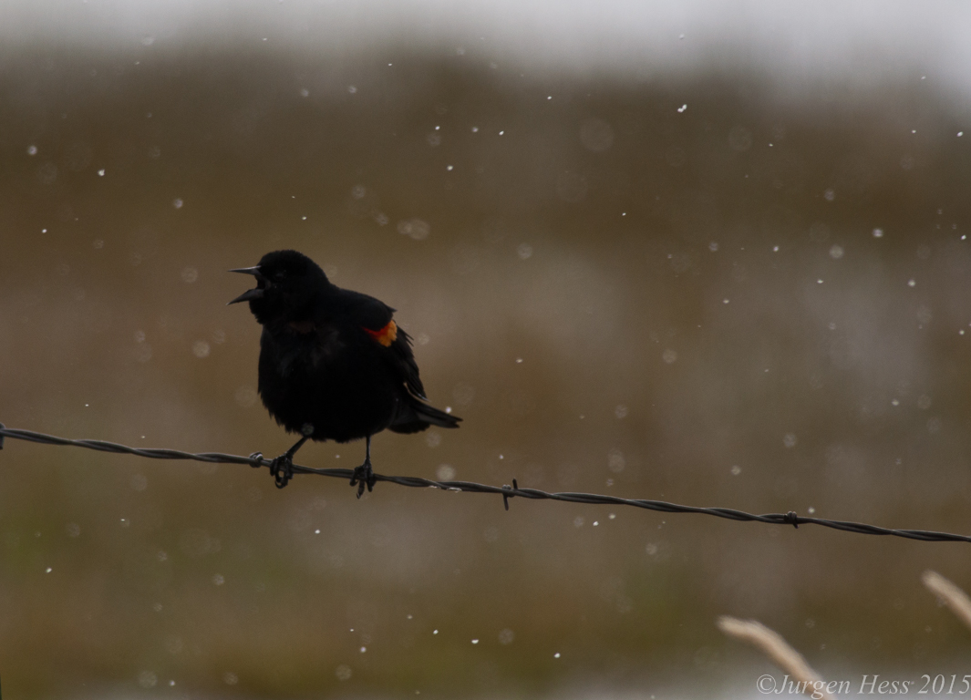 Redwing blackbird -2-3