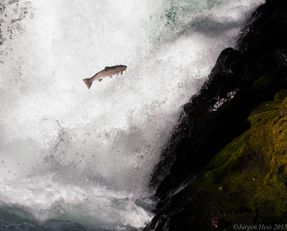 Salmon over Husum falls-0045