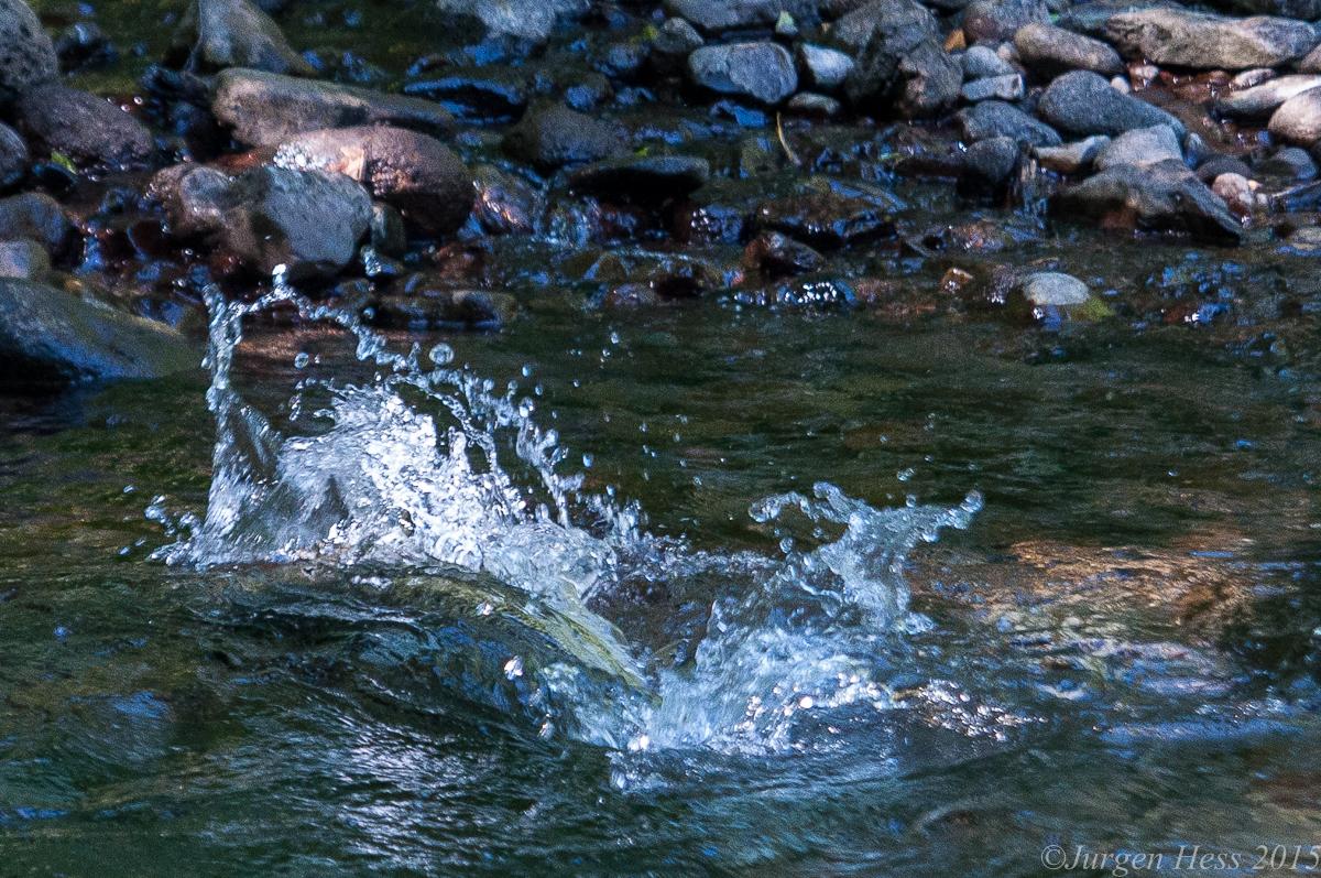 Salmon spawning  -0132