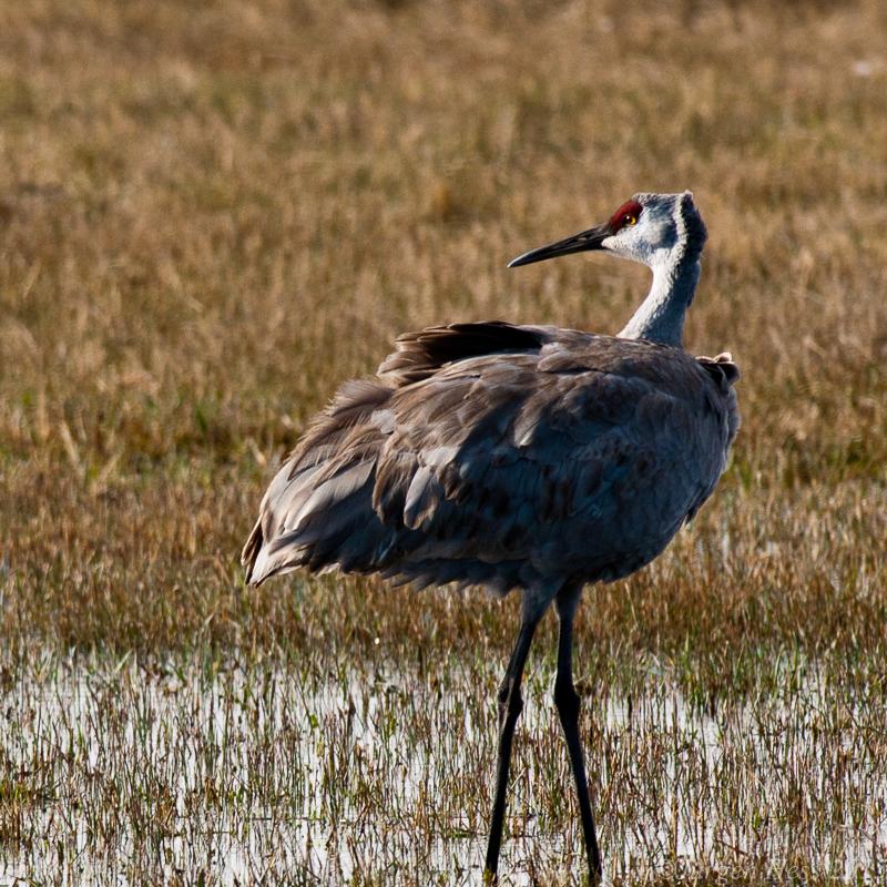 Sandhill crane -2-2