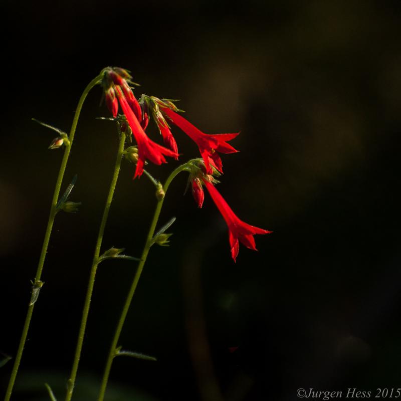 Scarlet Gilia  -0058